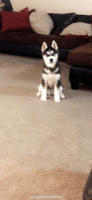 Alaskan Husky Puppies for sale in Youngstown, OH, USA. price: NA