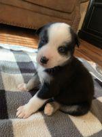 Alaskan Husky Puppies for sale in Phoenix, AZ 85014, USA. price: NA