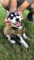 Alaskan Husky Puppies for sale in Albany, OR, USA. price: NA