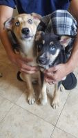 Alaskan Husky Puppies for sale in Columbia, PA, USA. price: NA