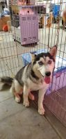 Alaskan Husky Puppies for sale in 420 N Evergreen Ave, Los Angeles, CA 90033, USA. price: NA
