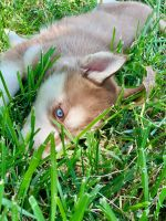 Alaskan Husky Puppies for sale in 204 Yvonne Dr, Rockwall, TX 75032, USA. price: NA