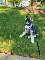 Alaskan Husky Puppies for sale in MD-355, Frederick, MD, USA. price: NA