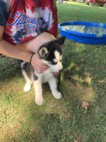 Alaskan Husky Puppies for sale in Lewisville, OH 43754, USA. price: NA