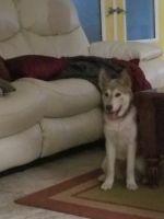 Alaskan Husky Puppies for sale in Lehigh Acres, FL, USA. price: NA