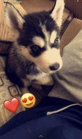 Alaskan Husky Puppies for sale in Las Vegas, NV, USA. price: NA