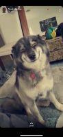 Alaskan Husky Puppies for sale in Charlotte, NC 28213, USA. price: NA