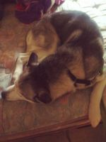 Alaskan Husky Puppies for sale in Akron, OH, USA. price: NA