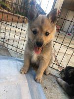 Alaskan Husky Puppies for sale in 3464 San Pablo Ave, San Jose, CA 95127, USA. price: NA