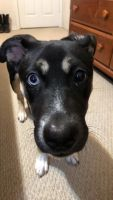 Alaskan Husky Puppies for sale in Selma, TX 78154, USA. price: NA