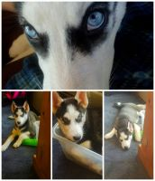 Alaskan Husky Puppies for sale in Hollowayville, IL 61356, USA. price: NA