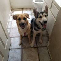 Alaskan Husky Puppies for sale in Highland, CA, USA. price: NA