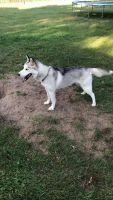 Alaskan Husky Puppies for sale in Middlebury, IN 46540, USA. price: NA