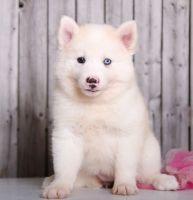 Alaskan Husky Puppies for sale in US-1, Jacksonville, FL, USA. price: NA