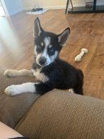 Alaskan Husky Puppies for sale in Brandenburg, KY 40108, USA. price: NA