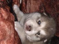 Alaskan Husky Puppies for sale in Tilton, IL, USA. price: NA