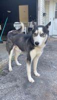 Alaskan Husky Puppies for sale in Toledo, OH, USA. price: NA