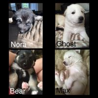 Alaskan Husky Puppies for sale in Cameron, NC 28326, USA. price: NA