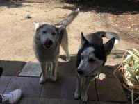 Alaskan Husky Puppies for sale in Fresno, CA, USA. price: NA