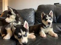 Alaskan Husky Puppies for sale in 4655 Chambers St, Riverside, CA 92503, USA. price: NA