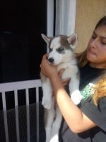 Alaskan Husky Puppies for sale in 9140 Greenleaf Ave, Whittier, CA 90602, USA. price: NA