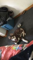 Alaskan Husky Puppies for sale in Chicago, IL, USA. price: NA