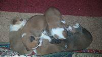 Alaskan Husky Puppies for sale in Jefferson City, MO 65109, USA. price: NA