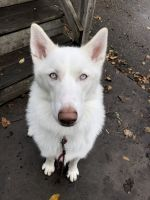 Alaskan Husky Puppies for sale in Apple Valley, MN 55124, USA. price: NA