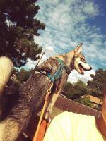 Alaskan Husky Puppies for sale in Denver, CO 80214, USA. price: NA