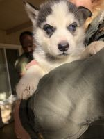 Alaskan Husky Puppies for sale in Coarsegold, CA 93614, USA. price: NA