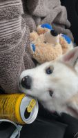 Alaskan Husky Puppies for sale in Meridian, ID, USA. price: NA