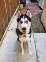 Alaskan Husky Puppies for sale in San Diego, CA 92103, USA. price: NA