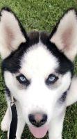 Alaskan Husky Puppies for sale in Woodlake, CA 93286, USA. price: NA