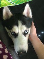 Alaskan Husky Puppies for sale in Harrisonburg, VA, USA. price: NA