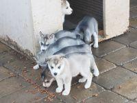 Alaskan Husky Puppies for sale in Perris, CA, USA. price: NA