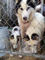 Alaskan Husky Puppies for sale in Tampa, FL, USA. price: NA