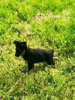 Alaskan Husky Puppies for sale in Charlotte, NC, USA. price: NA