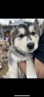 Alaskan Husky Puppies for sale in Castle Rock, CO, USA. price: NA