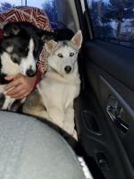 Alaskan Husky Puppies for sale in Wanamaker, IN 46239, USA. price: NA