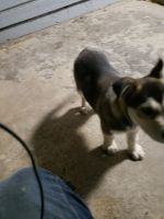 Alaskan Husky Puppies for sale in Balch Springs, TX, USA. price: NA