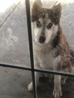 Alaskan Husky Puppies for sale in Palmdale, CA 93550, USA. price: NA