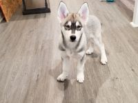 Alaskan Husky Puppies for sale in Beaumont, CA, USA. price: NA