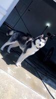 Alaskan Husky Puppies for sale in Sacramento, CA, USA. price: NA