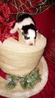 Alaskan Husky Puppies for sale in Rainbow City, AL, USA. price: NA
