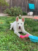 Alaskan Husky Puppies for sale in Elk Grove, CA, USA. price: NA