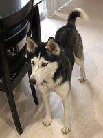Alaskan Husky Puppies for sale in Arlington, TX, USA. price: NA