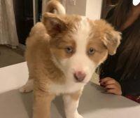 Alaskan Husky Puppies for sale in Gresham, OR, USA. price: NA