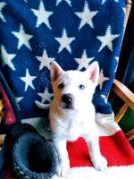 Alaskan Husky Puppies for sale in Albion, MI 49224, USA. price: NA