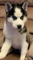 Alaskan Husky Puppies for sale in Greeley, CO, USA. price: NA