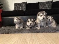 Alaskan Husky Puppies for sale in Phoenix, AZ 85022, USA. price: NA